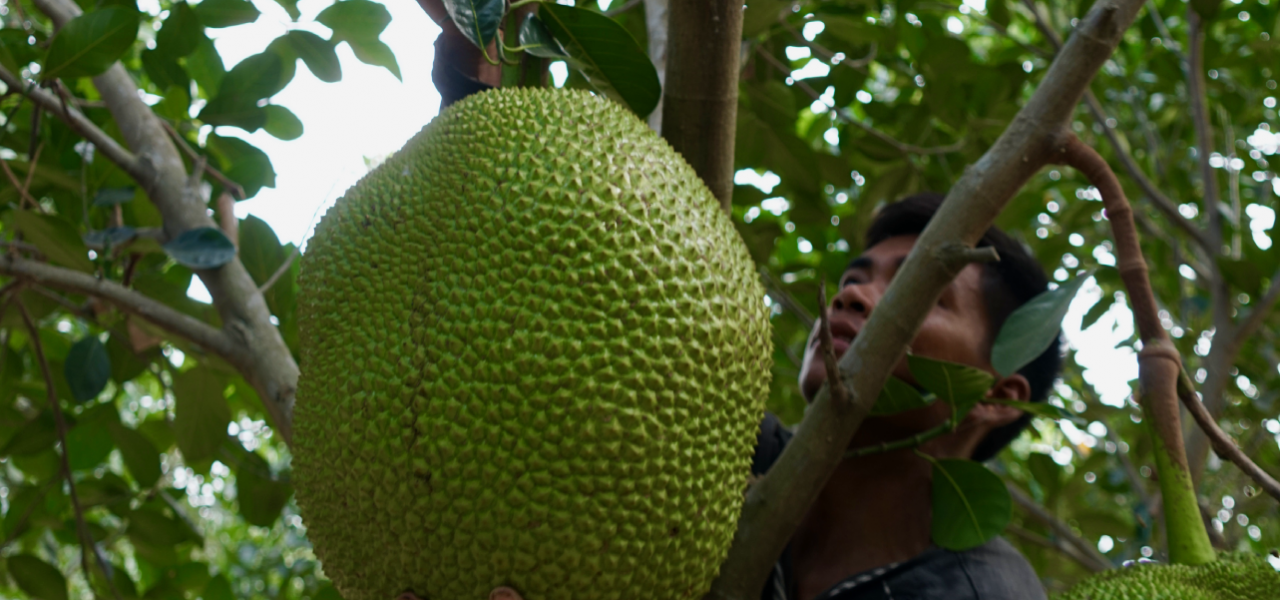JACKFRUIT FARM